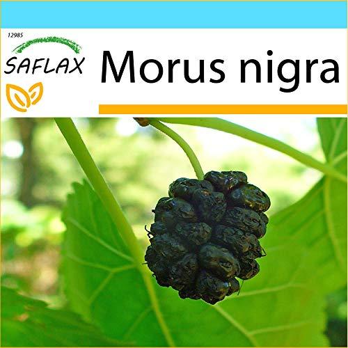 SAFLAX - Kit cadeau - Mûrier noir - 200 graines - Morus nigra