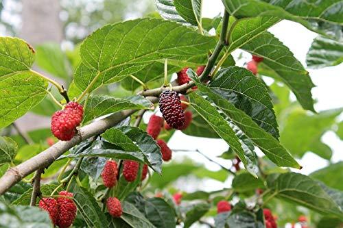 Rote Maulbeere Morus rubra Pflanze 15-20cm Maulbeerbaum Obstbaum Obstpflanze