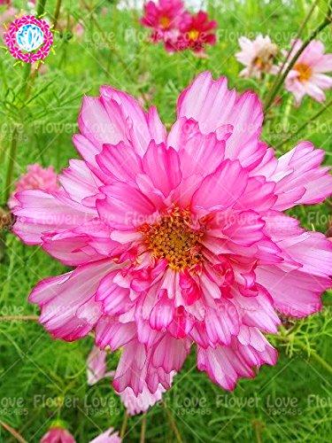 100pcs Rare Double Cosmos Graines de fleurs vivaces plantes à fleurs en pot pour jardin Cour Plantes décoratives 1