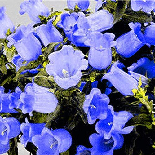 Beautytalk 50 Stücke Campanula Samen Blumensamen Bonsai Samen mehrjährig winterhart für Garten Balkon