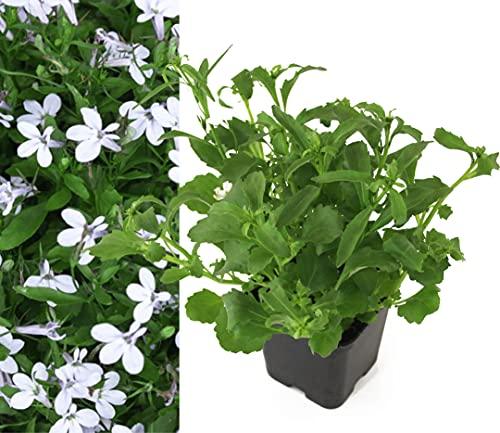 Isenzo Lobelia Männertreu Campanulaceae...