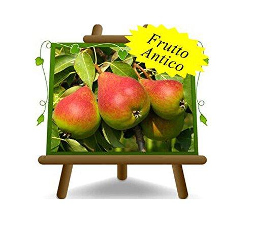 poirier poires belle de juin plante fruitière vieux sur un pot de 26 max 200 cm - 4 ans