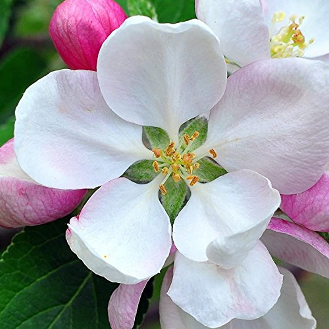 スケッチ禁止するデザートアロマフレグランスオイル 日本モクレン(Japanese Magnolia)