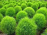 100 Burning Bush Seeds - (GREEN) Summer Cypress, kochia scoparia