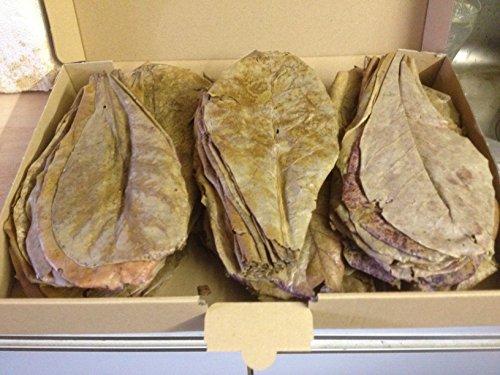 Seemandelbaumblätter XL (100Stück/ca.20cm) original A-Markenware von Catappa-Leaves +++BLITZVERSAND+++ Seemandellaub Catappa Leaves (Garnelen, Diskus, Bettas & Co)