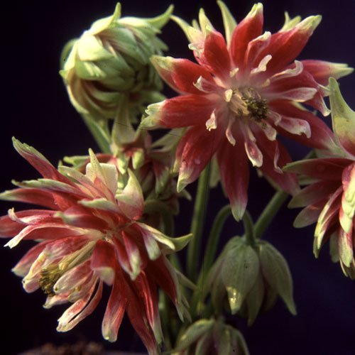Plant World Seeds - Aquilegia Vulgaris 'Nora Barlow' Seeds