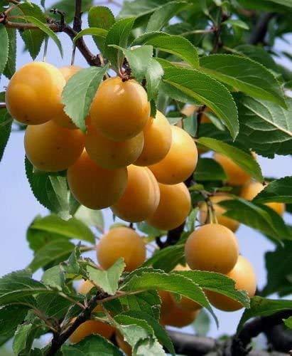 Mirabelle Prunus domestica subsp. syriaca Pflanze 5-10cm Gelbe Zwetschge