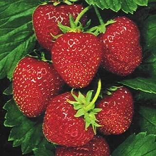 Outsidepride Strawberry Ananassa - 500 Seeds