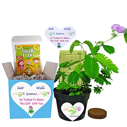 Get Well Gift Plant - TickleMe Plant Gift Box Set - Grow the Plant that closes its leaves when you Tickle It or blow it a Kiss. It also grows Pink Cotton Candy Like Flowers. Sure to make them Smile.