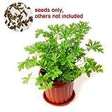 oce180anylv 100pcs citronella pianta semi mozzie buster mosquito repellente giardino decor