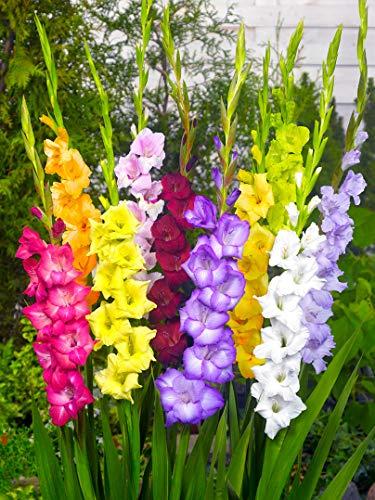 25x Gladiolus 'Mischung' - BULBi® blumenzwiebeln aus Holland - 100% Blühgarantie - Farbe: Mischung - Höhe 100-150 cm