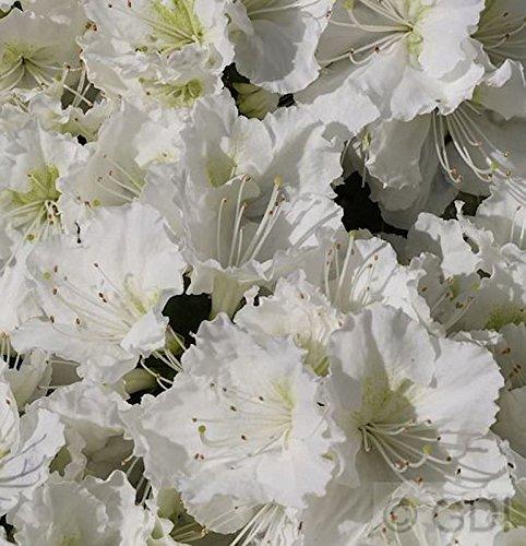 Rhododendron Standort: Sonne - Halbschatten
