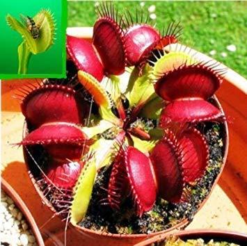 Shopvise 10pz Venus Fly Semi Trappola Flower Dionaea muscipula giganti clip Semi Giardino KECA