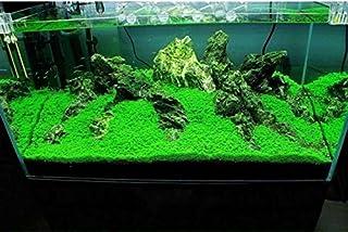 しんちんちん水草シード 植物の種子 プレミアムシード 葉植物 水族館装飾 育成難易度の低さ 60g/10パック