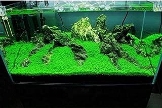 しんちんちん水草シード 植物の種子 プレミアムシード 葉植物 水族館装飾 育成難易度の低さ 12g/2パック