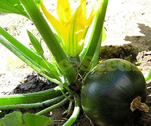 1bag = 50pcs vente chaude RARE graines de courgettes JAPANESE bulbe citrouille NO-OGM mini-graines de légumes délicieux jardin de bonsaïs