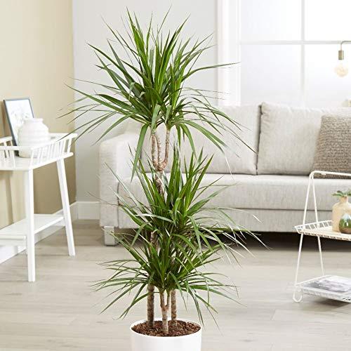 Madagascar Dragon Tree - Live Dracaena Marginata - 4 Feet Tall - Large Beautiful Florist Quality House Plant