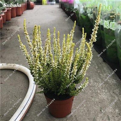 Happy Farm gypsophile Etoiles Sky Seed Hybrids Flower Seed jardin décoratif Aménagement paysager, Plante vivace Fleur 150 Pcs 7