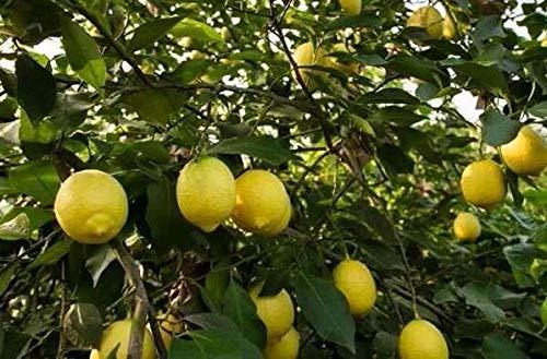 Bloom Green Co. 50 nains Lemon Tree Seeds - plantes d'extérieur, bricolage jardin Bonsai, odorants: 10