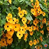 100+ Black Eyed Susan Vine Seeds for Planting | Exotic Garden Flowers | Made in USA, Ships from Iowa.