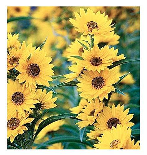 Maximilian Sunflower Seeds - Attracts Bees and Butterflies - Perennial Sunflower...