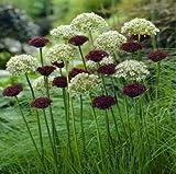 Beautytalk Jardin-Ail géant Allium giganteum Star ball Poireau Poireau fleur géant Parfum Allium vivace rustique Graines de fleurs exotiques vivaces/colorées