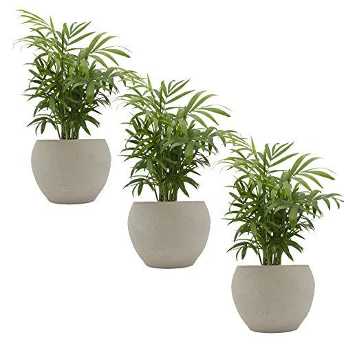 Zimmerpalmen-Trio mit Keramik-Blumentopf