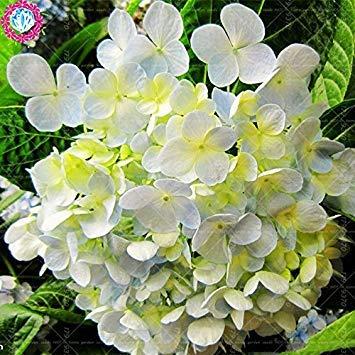 10 pcs / sac de graines de hortensia, bonsaïs graines de fleurs rares Chine Escalade hortensia fleurs vivaces de jardin graines pot extérieur 5
