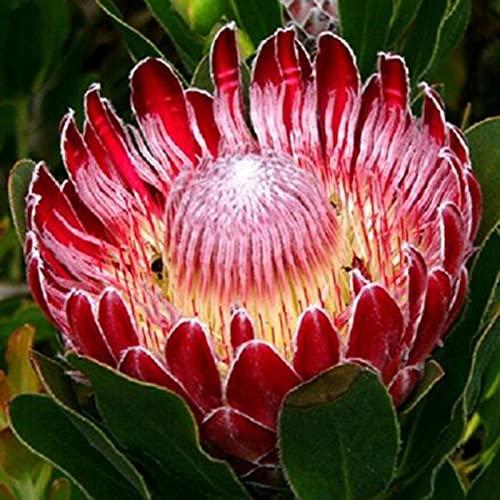 Protea Cynaroides Samen, 20Pcs / Beutel sugarbushes Samen Evergreen Fantastische rote Südseitiges Bonsai Garten-Blumen-Samen für die ideale Outdoor-Garten Geschenk