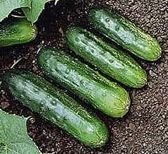 Leaf Cucumber Arkansas Little #SOS02