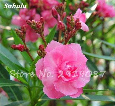 Hot 100 Pcs vivaces fleurs Phlox Graines exotiques Bonsai Graines de fleurs belles fleurs multi couleur Plante en pot Diy jardin 10