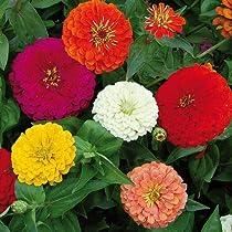 Kraft Seeds Zinnia Dahlia Flowers Mix GMO-free Plant Seeds (Multicolour,1gm)