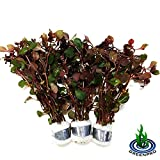 Greenpro 3 Bundles Dark Red Ludwigia Repens Live Aquarium Plants Package Freshwater Fish Tank
