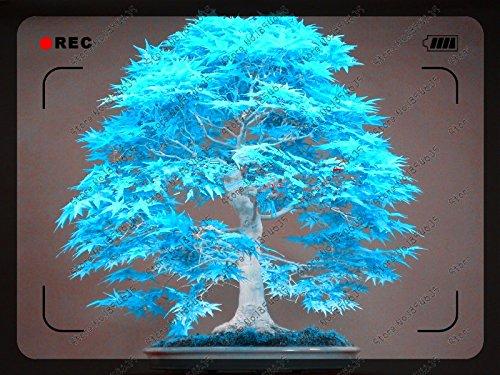 50pcs / sac érable bleu graines d'arbres rares Canada bonsaï Violet Maple Bonsai plantes arbres pour les planteurs de fleurs en pot