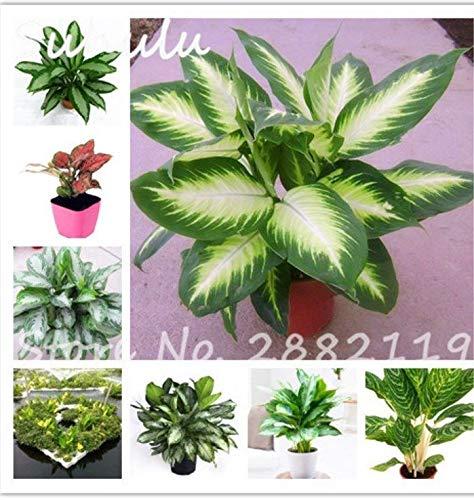 Shoopy Star Semillas de la herencia Aglaonema verde Taro 20 Orejas PC Perenne flor elefante