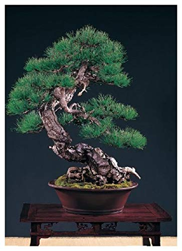 TROPICA - Pin rouge taïwanais (Pinus taiwanensis) - 40 graines- Bonsai