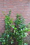 Hainbuche oder Weißbuche Carpinus betulus 80-120 cm mit Topfballen