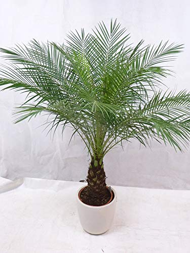 [Palmenlager] - Phoenix roebelenii Zwergdattelpalme 130 cm - Stamm 30 cm/Zimmerpalme
