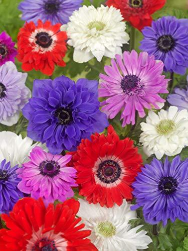 200 Gefüllte Anemonen 'St. Brigid' Mischung' - Packung: 200 Knollen - Mehrjährige Sommerblüher - BULBi® blumenzwiebeln aus Holland - 100% Blühgarantie