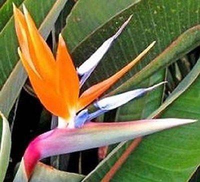 15 graines Bird Of Paradise Seeds Strelitzia Reginae