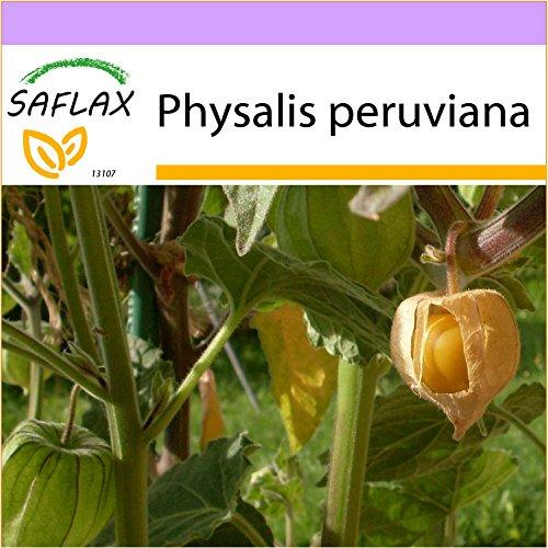 SAFLAX - Coqueret du Pérou - 100 graines - Physalis peruviana