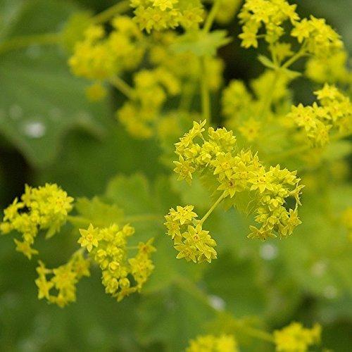 Müllers Grüner Garten Shop Frauenmantel Alchemilla epipsila gelbblühend Juni bis Juli ca. 30-40 cm Bodendecker Staude im 0,5 Liter Topf
