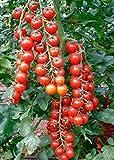 GEOPONICS Graines rares Tomate cerise Svit 100 Kokteyl russe Heirloom NON-OGM