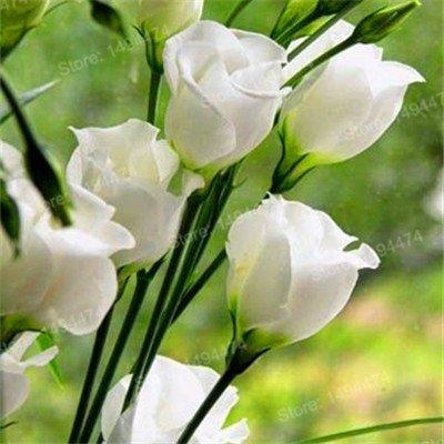 Saatgut, Eustoma, mehrjährige Blüten, Lisianthus Samen Bonsai, für Haus und Garten, Blau, 200 Stück