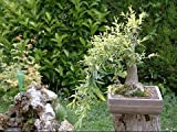 Black Willow Bonsai Tree - Thick Trunk Root Stock - Live Indoor or Outdoor Bonsai Tree Cutting - Get a Mature Looking Bonsai Fast - Much Better Than Tree Seeds