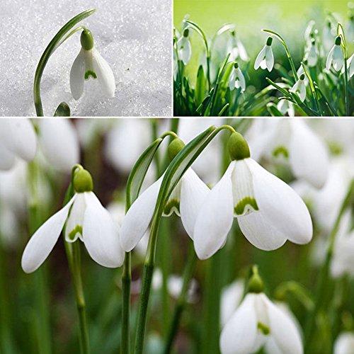 Homeofying Schneeglöckchen-Samen (Galanthus), 200 Stück, Aussähen im Herbst, Blumenzwiebeln, Frühlingsblumen