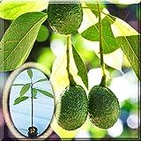 HASS Avocado Tree Plant