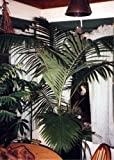 Archontophoenix cunninghamiana - bungalow de palma - 10 Semillas