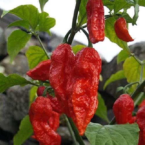 UEYR 20 Semi di Peperoncino Jolokia Pepper Bhut Jolokia Naga Chilli Re Chilli Seeds