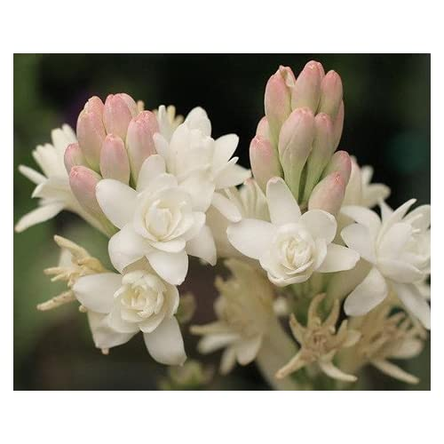 Nelesa Gardening Rajanigandha Double Flowering Fragrant Flower Polianthes Tuberosa Bulbs 5 Bulbs